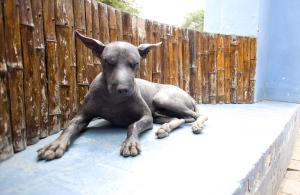 Peruvian hairless dogs:  a must for any archeological site.