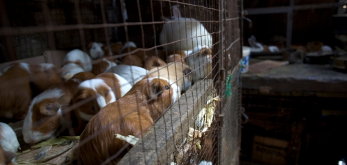 Guinea Pigs in detention on many floors at the Trujillo market